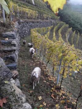 """Vigneto ad  Anfitentro con le pecore """"Ciuta"""""""