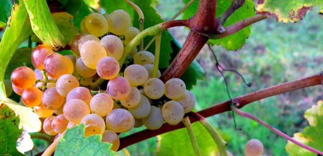 Bunch of white grapes Fiano di Avellino DOCG
